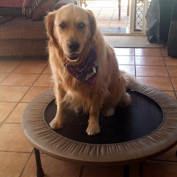 Penny Pinkerton Golden Retriever on Trampoline